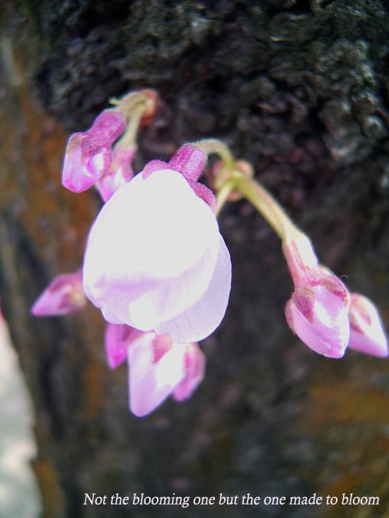 咲くものではなく咲かせるもの